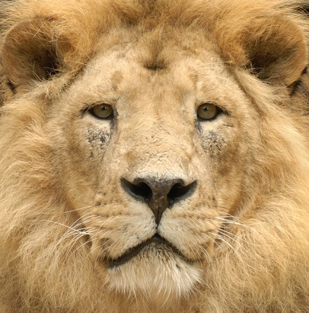 Closeup of a beautiful lions lofty face looking straight into the camera photo