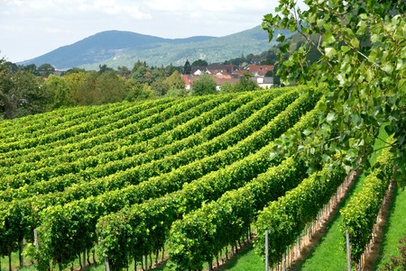 wine stocks: Vineyard on a European countryside with a few houses and hills in the background Stock Photo