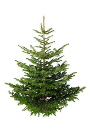 Fir tree for Christmas, not adorned, isolated on white without shadow
