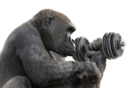 barbell: Humorous concept shot of a gorilla on white training with a heavy dumbbell, symbolizing great strength