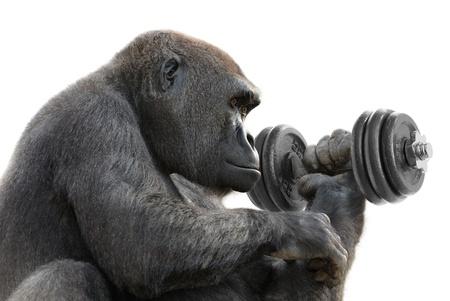 muskeltraining: Humorvolle Konzept Schuss ein Gorilla auf wei� Training mit einem schweren Hantel, als Symbol f�r gro�e St�rke
