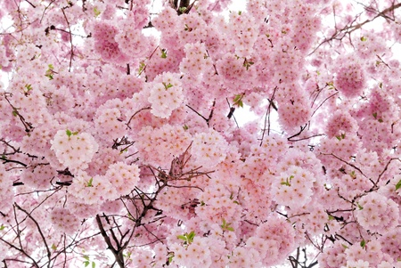 Outdoor shot filled with beautiful cherry blossoms in their smooth pink tones photo