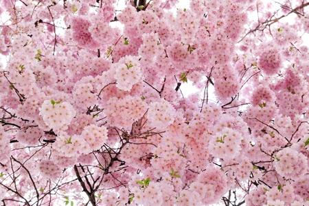 cerezos en flor: Tiro al aire libre llenos de hermosas flores de cerezo en sus suaves tonos rosas