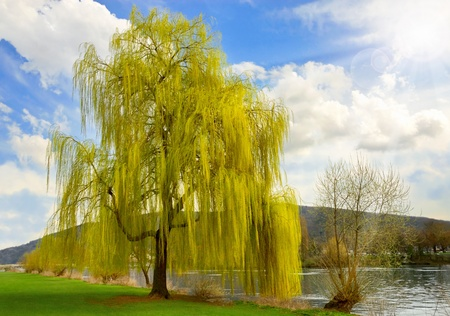 A tall weeping willow on a sunny day with white clouds