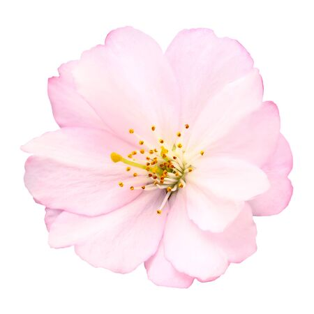 april flowers: Close-up of a delicate bright pink cherry blossom on white background