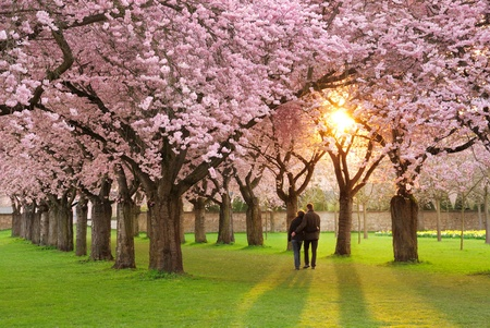the magnificent: A richly blossoming cherry tree garden at sunset being peacefully enjoyed by a walking couple
