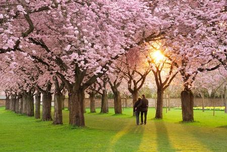 fleur de cerisier: Un jardin de cerisier richement florissant au coucher du soleil �tant pacifiquement appr�ci� par un couple de marche Banque d'images