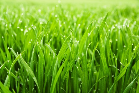 Close up of fresh thick grass with water drops in the early morning photo