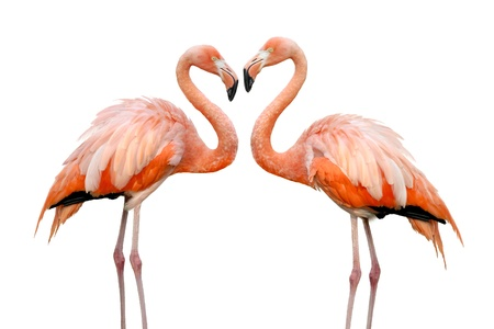 Two beautiful flamingos in love