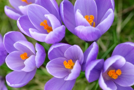 Closeup of a group of beautiful lilac crocuses shot from above