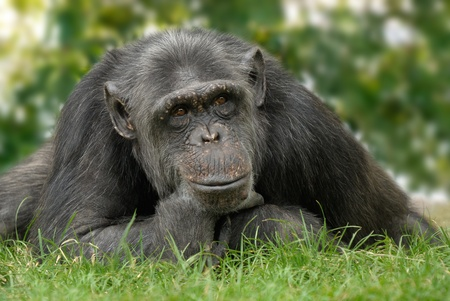 Friendly looking chimpanzee sitting on a meadow and holding his chin in a human way