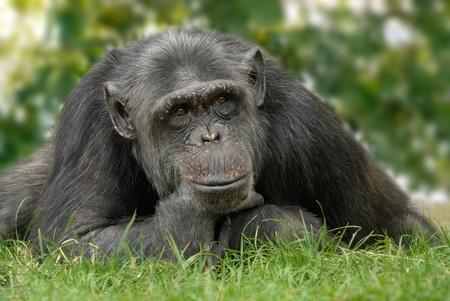 chimpansee: Vriendelijk ogende chimpansee zittend op een weide ingedrukt zijn kin op een menselijke manier te Stockfoto