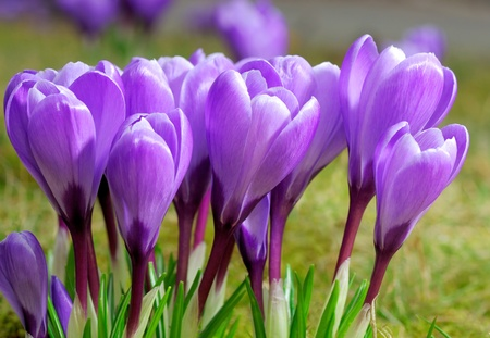 Outdoor shot of a group of purple crocuses at smooth sunshine photo