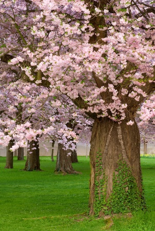 cherry blossom in japan: A beautiful cherry garden in spring, a strong tree being in the foreground Stock Photo