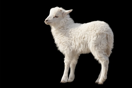 harmless: Cute fluffy white lamb isolated on black background
