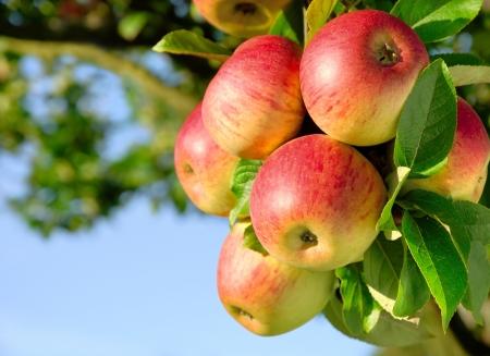 Tiro colorido al aire libre que contiene un montón de manzanas rojas en una rama lista para ser cosechada Foto de archivo