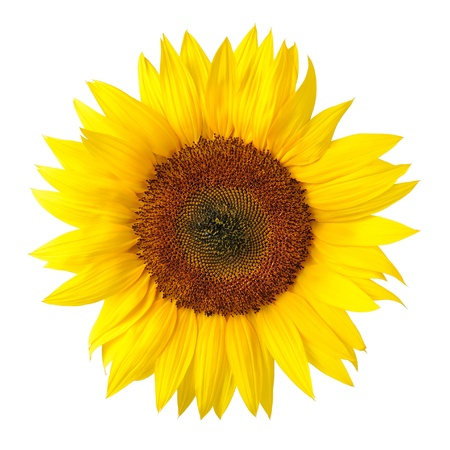 Bright studio shot of a large beautiful sunflower on white background photo