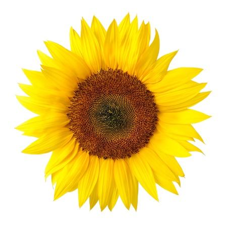 zonnebloem: Lichte studio shot van een grote prachtige zonnebloem op witte achtergrond