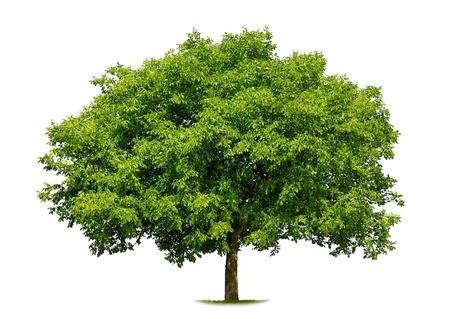 feuille arbre: Magnifique arbre caduc vert frais isol� sur fond blanc pur