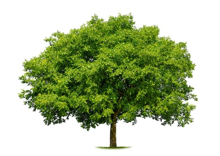Beautiful fresh green deciduous tree isolated on pure white background
