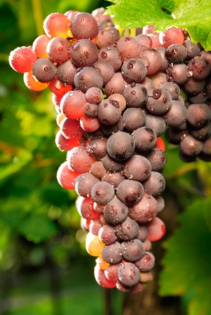 Close-up of ripe red grapes with the sunlight shining through them photo