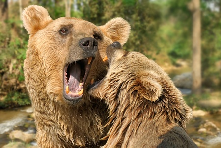 Closeup of two grizzly bears fighting or playing with each other at a river in the wood photo