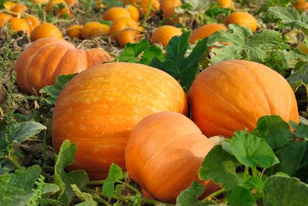 thanksgiving harvest: Pumpkin plants with rich harvest on a field ready to be harvested