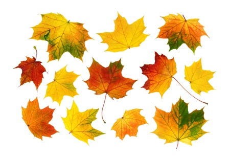 fall of the leafs: Bright and vibrant studio isolation of collected autumn leaves  Stock Photo