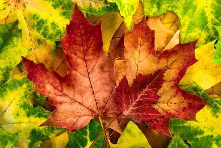 autumn arrangement: Colorful autumn arrangement of red maple leaves bordered by vibrant yellow-green foliage