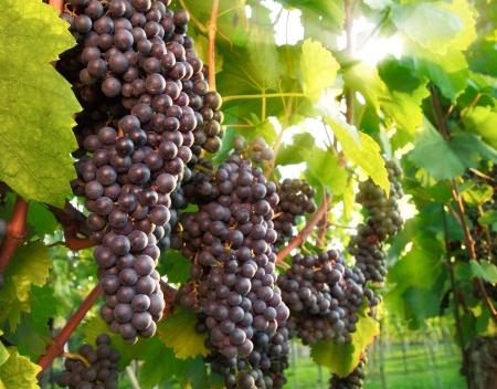 wijnbladeren: Rode druiven klaar om te worden geoogst, met het zonlicht mooi schijnt door de druivenbladeren