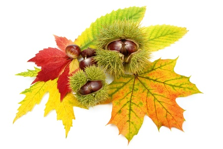 Ornamental autumn arrangement on white containing colorful leaves and chestnuts