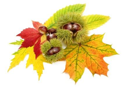 Ornamentale arrangiamento autunno su bianco contenente le castagne e foglie colorate  Archivio Fotografico