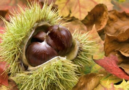 castaÑas: Castañas frescas con cáscara abierta sobre hojas secas de otoñales  Foto de archivo