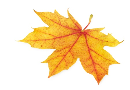 Neat golden maple leaf on white background, high resolution studio shot Stock Photo - 10347515