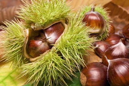 castaÑas: Castañas frescas con cáscara abierta sobre hojas de otoñales caídas