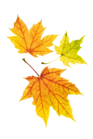 Three neat colorful maple leaves on white background, studio shot Stock Photo - 10347512