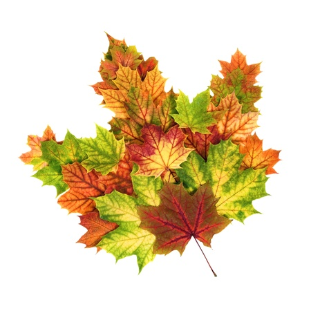 fall of the leafs: Many autumn leaves arranged to build one large colorful leaf, studio isolated on white Stock Photo