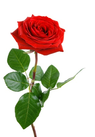 Fully blossomed, gorgeous red rose with stem and leaves on pure white background