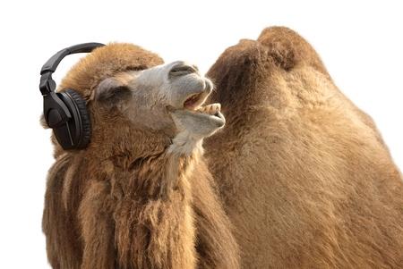 camello: Disparo de un camello chistoso escuchar música y cantar con pasión