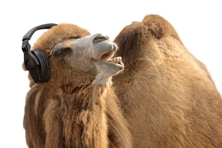 camel: Humorous shot of a camel listening to music and singing along passionately Stock Photo