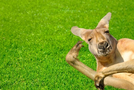 cool down: Humor shot of a lazy kangaroo enjoying the sunshine and posing in an amusing way