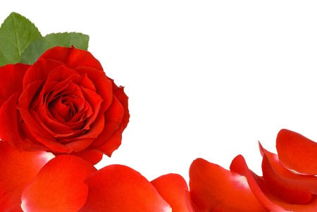 White copyspace with a red rose and petals as a border photo