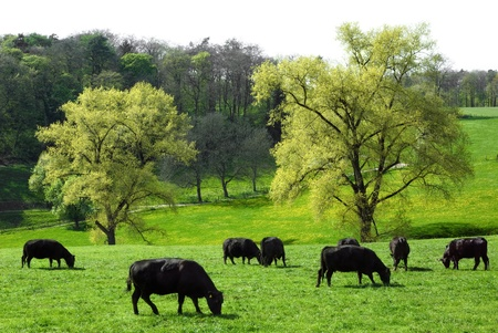 conservation grazing: Happy cows grazing on a beautiful meadow with two huge trees in the background