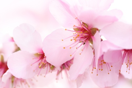 delicate: The smooth color and shape of cherry blossoms, a closeup with shallow focus Stock Photo