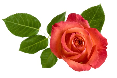cut flowers: Top view of a beautiful red rose with leaves, isolated studio shot Stock Photo