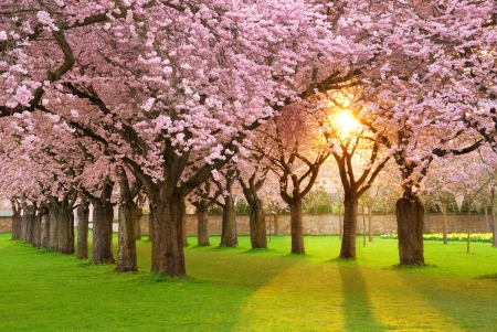 tree canopy: Richly blossoming cherry tree garden on a lawn with the sun shining through the branches