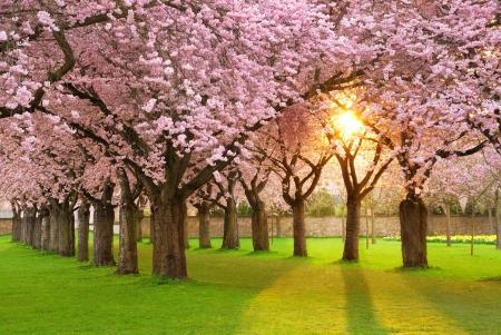 kersenboom: Rijk bloeiende kersenboom tuin op een grasveld met de zon schijnt door de takken