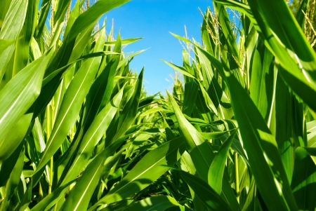 monoculture: Corn plant rows viewed from their midst, with clear blue sky