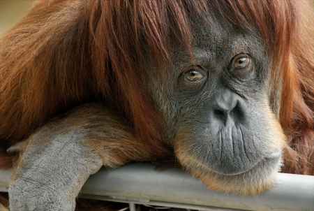 Closeup portrait of a beautiful orangutan looking directly into the camera photo