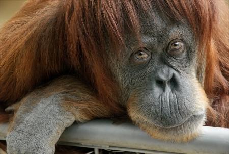 orangutan: Closeup portrait of a beautiful orangutan looking directly into the camera